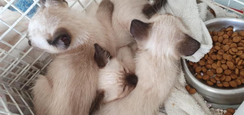 preciosos-gatitos-de-8-semanas