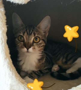 Hansel - cat for adoption